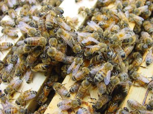 group-of-bees-1359819